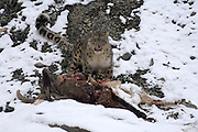 Leh - Sunday, Dec. 3, 2006: An adult male snow leopard (Unica unica)  licks his lips as he stands over a dead blue sheep on a snowy slope in Hemis National Park, Ladakh. (Photo by Peter Horrell / www.peterhorrell.com)