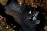 Black moray, Muraena augusti, Faial, Azores, Portugal