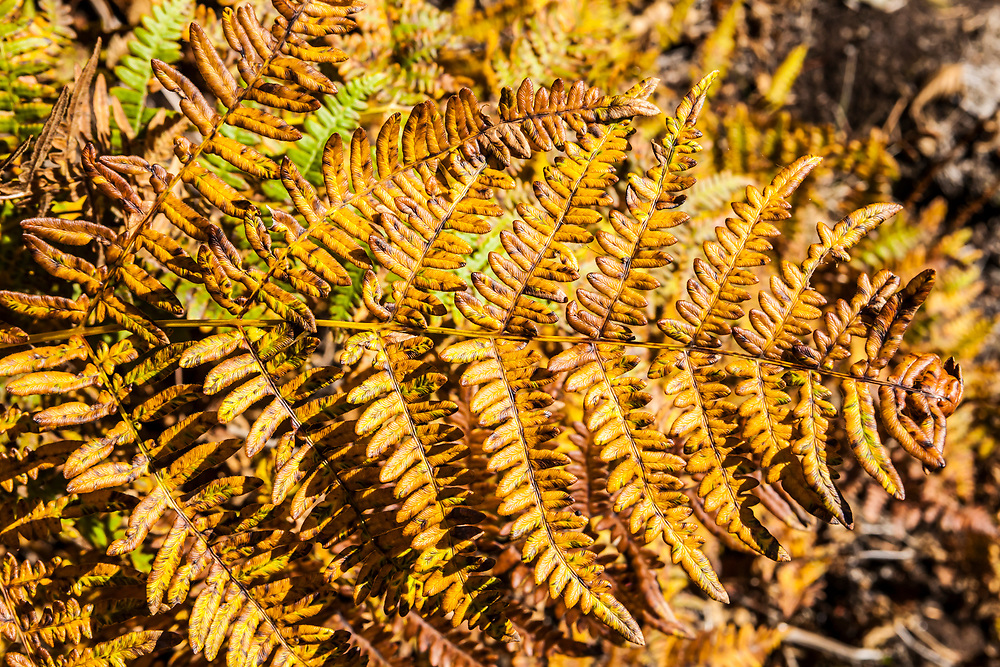 Autumn ferns in the Central Cascade mountains of Washington State, USA.