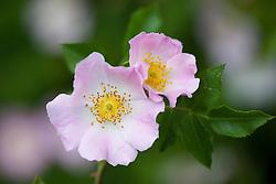 Wild Dog Rose. Rosa canina