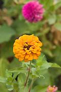 pink and orange Chrysanthemum