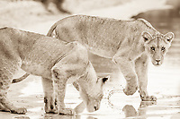 Lioness, Kgalgadi South Africa