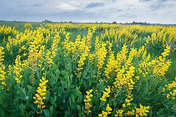 Yellow Wild Indigo (Baptisia sphaerocarpa) wildflowers on the Daphne Prairie, a remnant of the Blackland Prairie, Mount Vernon, Texas, USA.