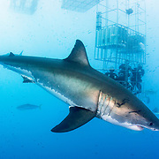 A great white shark (Carcharodon carcharias) passes by a submerged shark cage with tourists off Guadalupe Island, Mexico