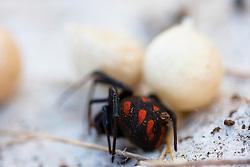 Malmignatta con uova (Latrodectus tredecimguttatus), il ragno legato alla tradizione della danza della pizzica..