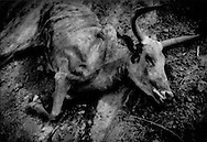The rains did not come soon enough.  Carcass of an African longhorn steer during the Sahel dry season, near Djenne, Mali.