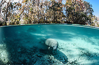 A young manatee swims into the heart of the warm freshwater springs during a cool winter day. Florida manatees come to Three Sisters Springs during the cooler months to rest and stay warm. This split-level image shows both land and underwater views. Taken in the Crystal River National Wildlife Refuge, Kings Bay, Crystal River, Citrus County, Florida USA. Florida manatee, Trichechus manatus latirostris, a subspecies of the West Indian manatee