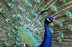 peacock - full plummage - close up (Photo by Alan Look)