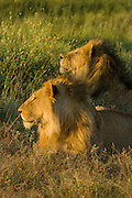 Male lions, possibly siblings