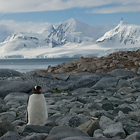 A Gentoo Penguin walks to its nest near Damoy Point on Wiencke Island, Antarctica. Behind is the Neumayer Channel and mountains on Anvers Island.