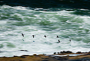 Cormorants in flight along the Oregon Coast at Shoe Acres, near Coos Bay.