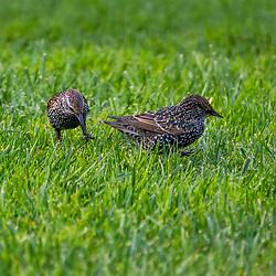 """""""Estorninho-comum (Sturnus vulgaris) fotografado em São Fransisco, nos Estados Unidos da América - EUA. Registro feito em 2018. <br /> ⠀<br /> ⠀<br /> <br /> <br /> <br /> <br /> ENGLISH: Common Starling photographed in San Fancisco, in United States of América - USA. Picture made in 2018."""""""