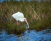 White Ibis. Black Point Wildlife Drive, Merritt Island National Wildlife Refuge. Image taken with a Nikon D3s camera and 70-200mm f/2.8 lens with a 2.0 TC-E III teleconverter (ISO 200, 400 mm, f/5.6, 1/800 sec).