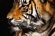 Close-up profile of wild Bengal tiger, Ranthambore National Park, Rajasthan, India