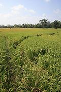 Rice field, Pokutenna, Sri Lanka