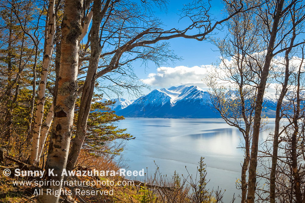 Snow capped Kenai Mountains and Turnagain Arm of Cook Inlet viewed through birch woods, Chugach State Park, Southcentral Alaska, Spring.
