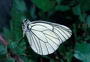 Black Veined White butterfly (Aperia crataegi) - non resident, feeds on hawthorn and Prunus insect  animal - insects