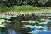 Turtles on a log at Gull lake.  Danbury Wisconsin USA