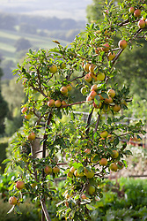 Apple 'Cox's Orange Pippin' trained over an arch in the kitchen garden at Chatworth House. Malus 'Cox's Orange Pippin'