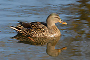 Mallard, Anas platyrhynchos, Female duck on water in sunlight.