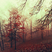 Maple leaf tree on a misty November morning - photograph processed with texture overlays