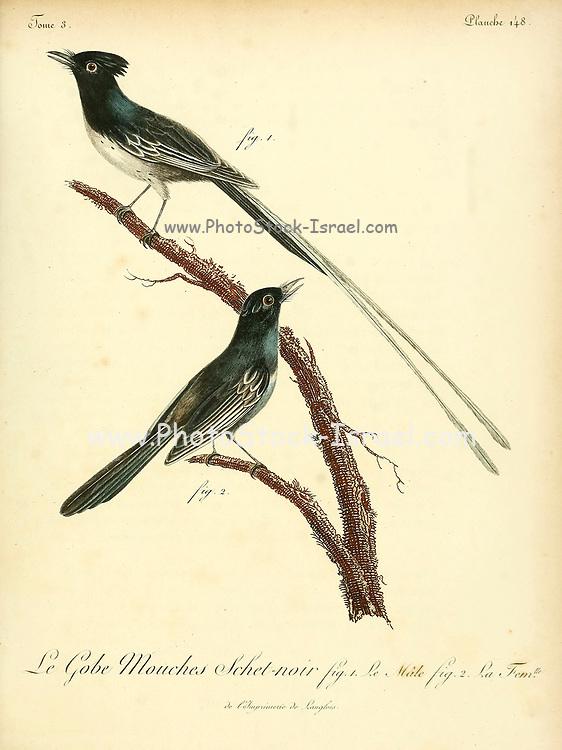 SCHET NOIR from the Book Histoire naturelle des oiseaux d'Afrique [Natural History of birds of Africa] Volume 3, by Le Vaillant, François, 1753-1824; Publish in Paris by Chez J.J. Fuchs, libraire 1799 - 1802