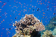 Various Anthias fish (pseudanthias) and Bicolor chormis (chromis margaritifer) schooling around coral on Agincourt Reef, Great Barrier Reef, Queensland, Australia. <br />
