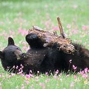 Black Bear, (Ursus americanus) In field of Shooting Star flowers playing with bark. Montana.  Captive Animal.