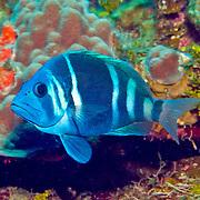 Indigo Hamlet inhabit reefs are common in NW Caribbean, uncommon to rare balance of Tropical West Atalantic; picture taken Roatan, Honduras.