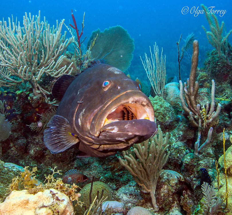 The Atlantic goliath grouper