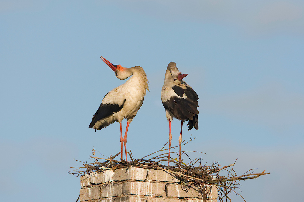 White stork (Ciconia ciconia) pair performing bill claping display at nest on old chimney. Rusne, Lithuania. Mission: Lithuania, June 2009