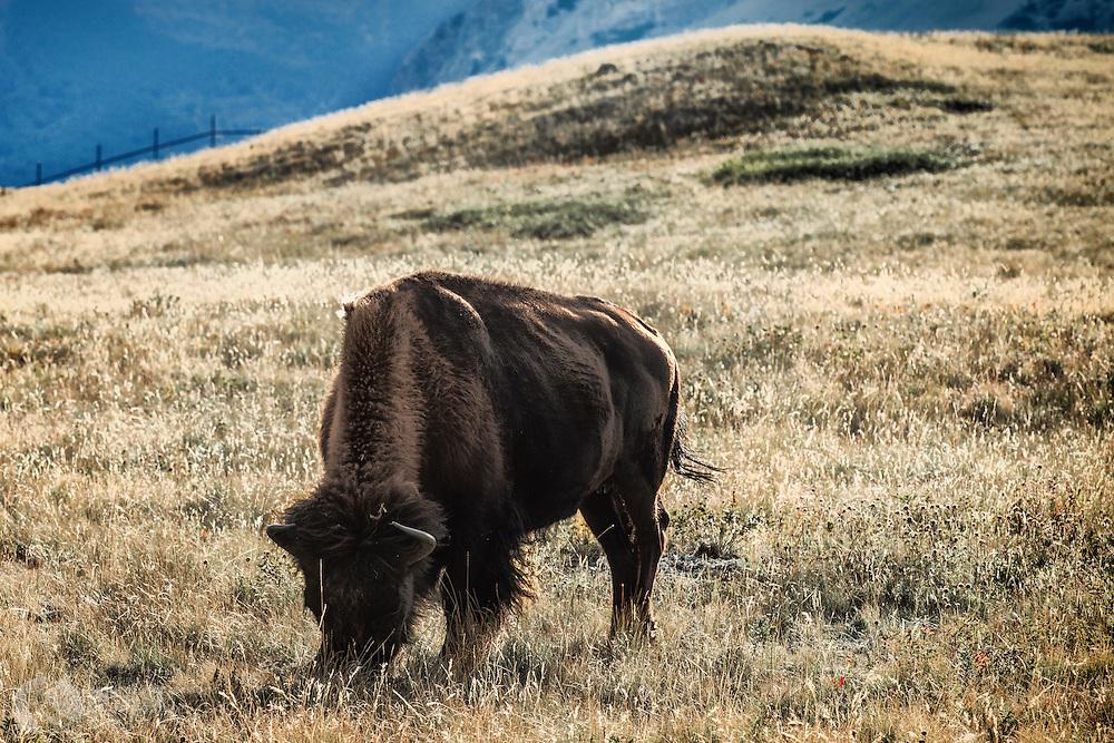 Plains Buffalo; Waterton National Park; Waterton Provincial Park
