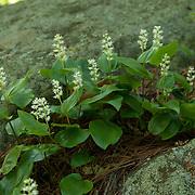 Canada Mayflower, Maianthemum canadense
