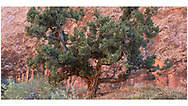 A pine tree growing in a rocky alcove in the Devils Garden Hiking Area at  Arches National Park, Utah, USA
