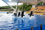 Orca Whale show, Loro Parque aquarium and Theme Park, Costa Adeje, Tenerife, Canary Islands, Spain