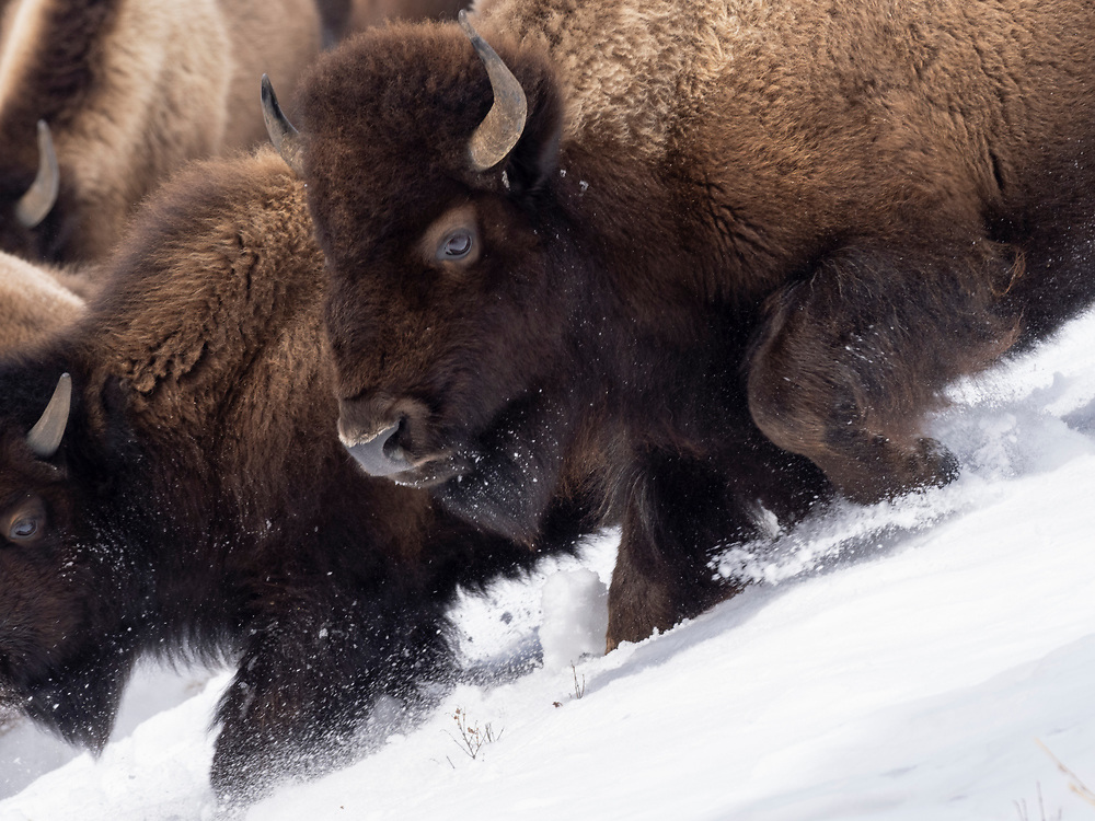 North America, United States, Wyoming, Yellowstone National Park,  Lamar Valley, bison in motion on snowbank