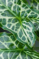 The foliage of Arum italicum 'Pictum' syn  A. italicum subsp. italicum 'Marmoratum'