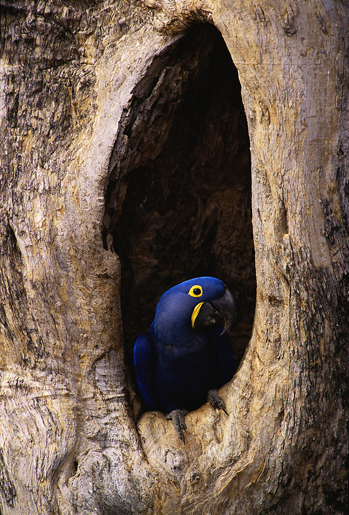 Hyacinth Macaw in Nest<br />Anodorhynchus  hyacinthinus<br />Pantanal, BRAZIL. South America<br />RANGE: Interior Brazil, nw Paraguay and e Bolivia