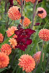 Gladiolus 'Black Surprise' and Dahlia 'Blitzer'