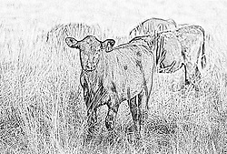 10 July 2010:East Central McLean County. Black and brown calf This image was produced in part utilizing High Dynamic Range (HDR) or panoramic stitching or other computer software manipulation processes. It should not be used editorially without being listed as an illustration or with a disclaimer. It may or may not be an accurate representation of the scene as originally photographed and the finished image is the creation of the photographer.