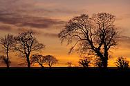 Farmland Trees at Sunset, Norfolk, UK