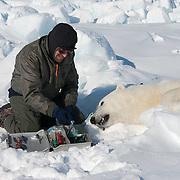 Geoff York, biologist for USGS, prepares a polar bear to start doing research. Kaktovik, Alaska.
