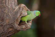 Indian Rose-Ringed Parakeet, Psittacula krameri, in tree hole in village of Nimaj, Rajasthan, Northern India