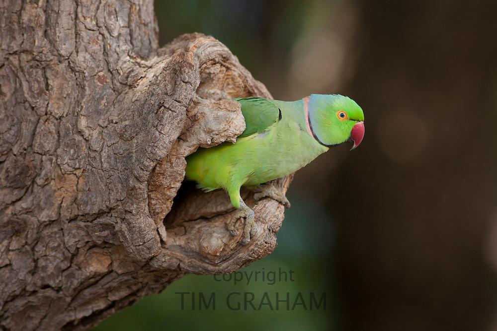 Indian Rose-Ringed Parakeet, Psittacula krameri, in tree hole in village of Nimaj, Rajasthan, Northern India