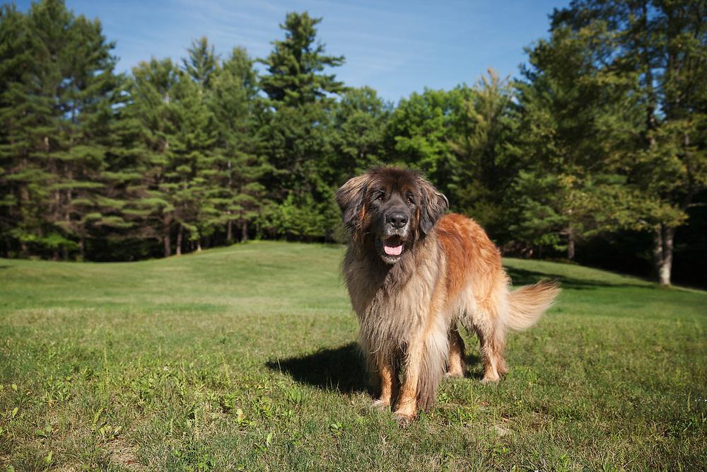 Leonberger Standing proudly in a grassy field