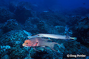 trumpetfish, Aulostomus chinensis, shadow stalking with male streamer hogfish, a wrasse, Bodianus diplotaenia, Galapagos Islands, Ecuador,  ( Eastern Pacific )