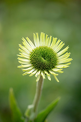 Echinacea purpurea 'Green Jewel'.<br /> Purple coneflower