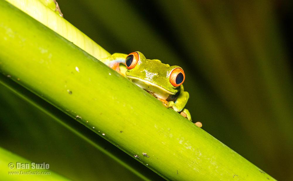Red-eyed Treefrog, Agalychnis callidryas, in Tortuguero National Park, Costa Rica