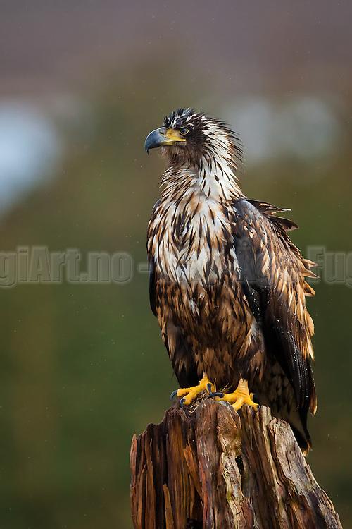 Havørn poserer på stubbe   White-tailed Eagle posing on stump.