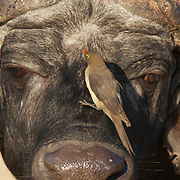 Cape Buffalo also known as African Buffalo, Timbavati Game Reserve, South Africa.